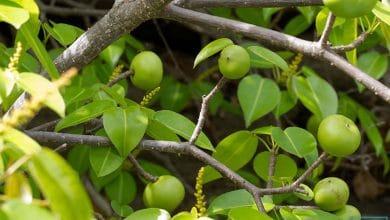 Photo of Pohon Manchineel: Pohon Paling Mematikan Di Dunia dalam buku Guinness World Records